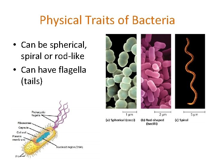Physical Traits of Bacteria • Can be spherical, spiral or rod-like • Can have
