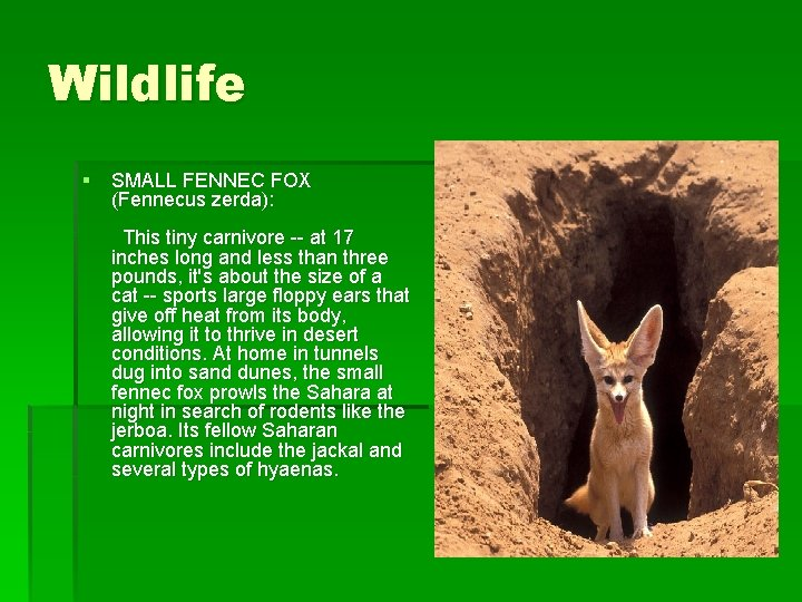 Wildlife § SMALL FENNEC FOX (Fennecus zerda): This tiny carnivore -- at 17 inches