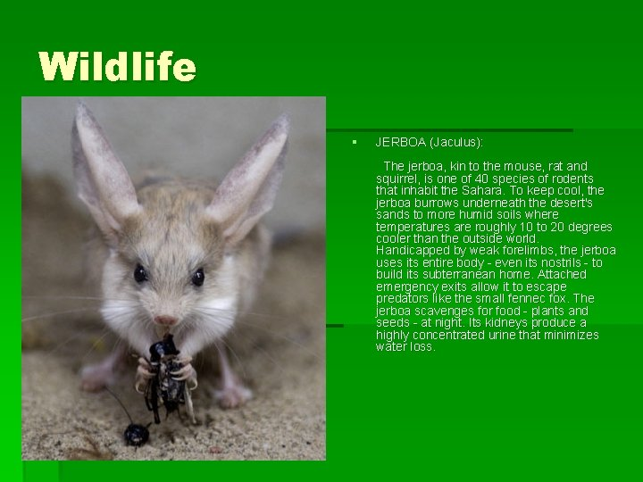 Wildlife § JERBOA (Jaculus): The jerboa, kin to the mouse, rat and squirrel, is