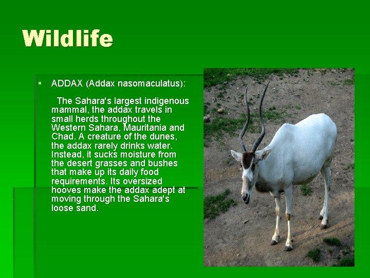Wildlife § ADDAX (Addax nasomaculatus): The Sahara's largest indigenous mammal, the addax travels in
