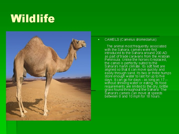 Wildlife § CAMELS (Camelus dromedarius): The animal most frequently associated with the Sahara, camels