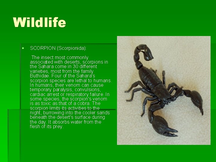 Wildlife § SCORPION (Scorpionida): The insect most commonly associated with deserts, scorpions in the