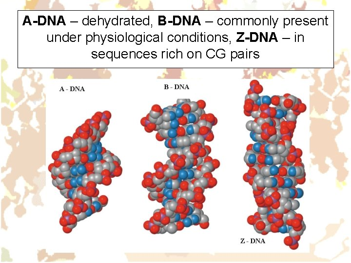 A-DNA – dehydrated, B-DNA – commonly present under physiological conditions, Z-DNA – in sequences