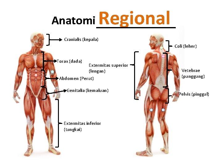 Anatomi Regional Cranialis (kepala) Coli (leher) Torax (dada) Extermitas superior (lengan) Abdomen (Perut) Genitalia