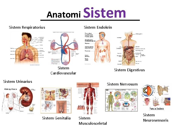 Anatomi Sistem Respiratorius Sistem Endokrin Sistem Cardiovascular Sistem Urinarius Sistem Digestivus Sistem Nervosum Sistem