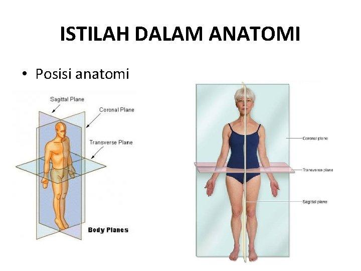 ISTILAH DALAM ANATOMI • Posisi anatomi