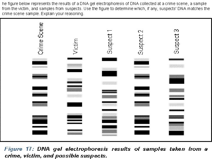 he figure below represents the results of a DNA gel electrophoresis of DNA collected