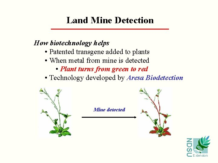 Land Mine Detection How biotechnology helps • Patented transgene added to plants • When