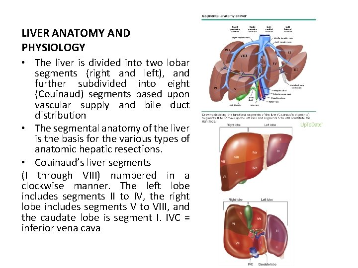 LIVER ANATOMY AND PHYSIOLOGY • The liver is divided into two lobar segments (right