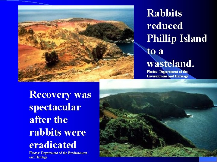 Rabbits reduced Phillip Island to a wasteland. Photos: Department of the Environment and Heritage