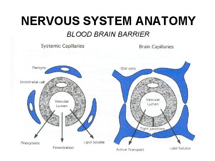 NERVOUS SYSTEM ANATOMY BLOOD BRAIN BARRIER