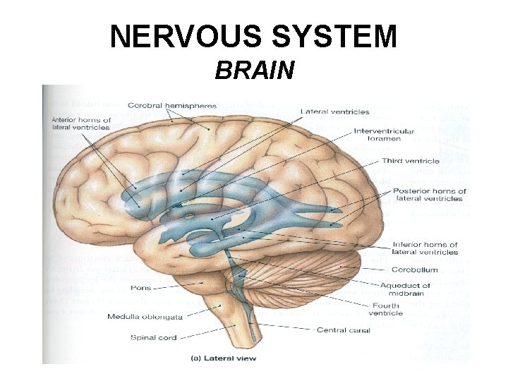 NERVOUS SYSTEM BRAIN