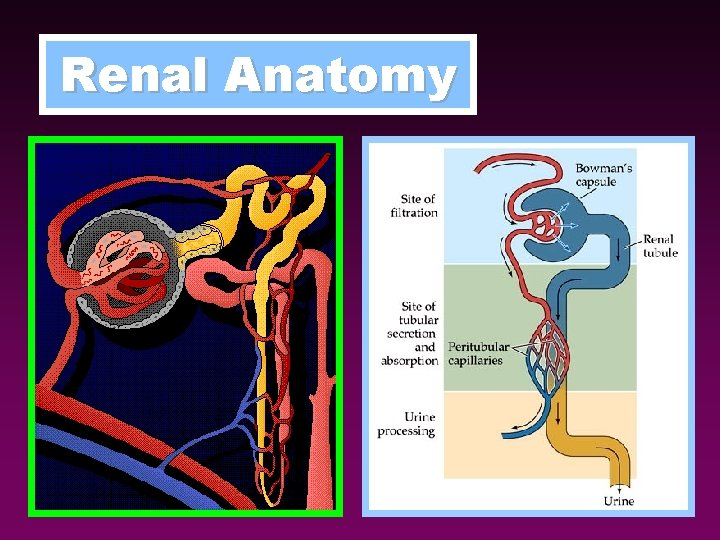 Renal Anatomy