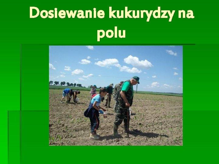 Dosiewanie kukurydzy na polu
