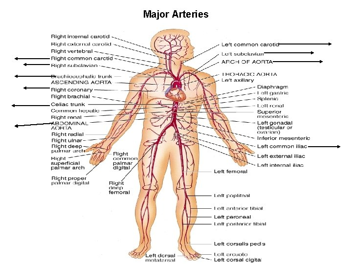 Major Arteries