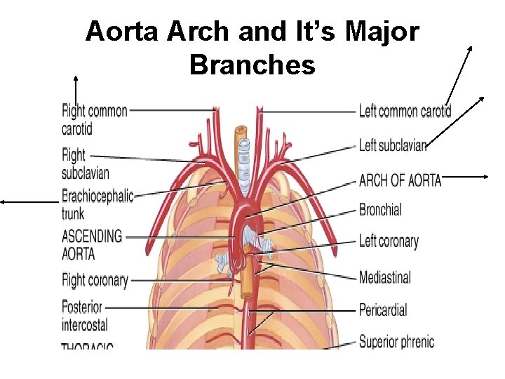 Aorta Arch and It's Major Branches