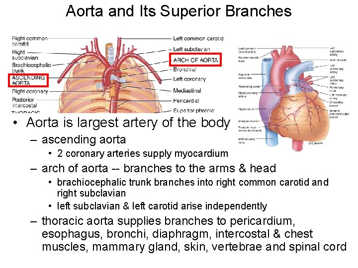 Aorta and Its Superior Branches • Aorta is largest artery of the body –