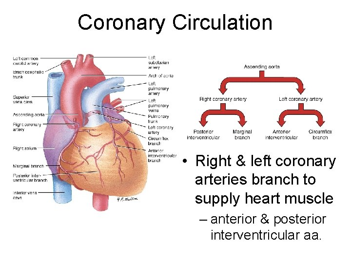 Coronary Circulation • Right & left coronary arteries branch to supply heart muscle –