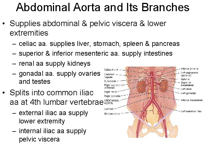Abdominal Aorta and Its Branches • Supplies abdominal & pelvic viscera & lower extremities