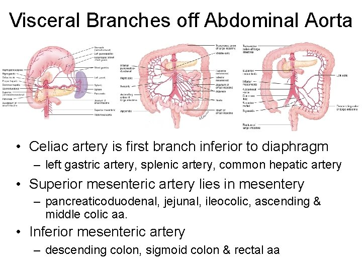 Visceral Branches off Abdominal Aorta • Celiac artery is first branch inferior to diaphragm