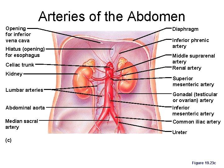 Arteries of the Abdomen Opening for inferior vena cava Hiatus (opening) for esophagus Celiac