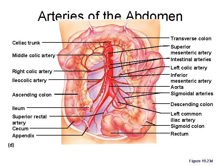 Arteries of the Abdomen Celiac trunk Middle colic artery Right colic artery Ileocolic artery