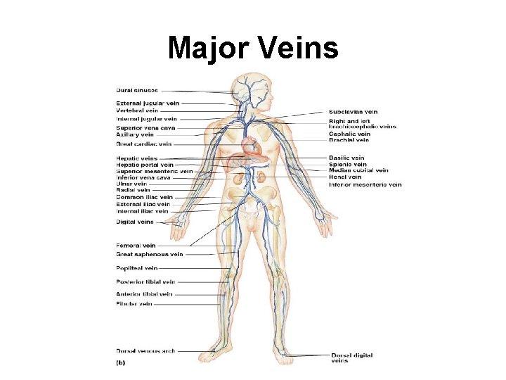 Major Veins