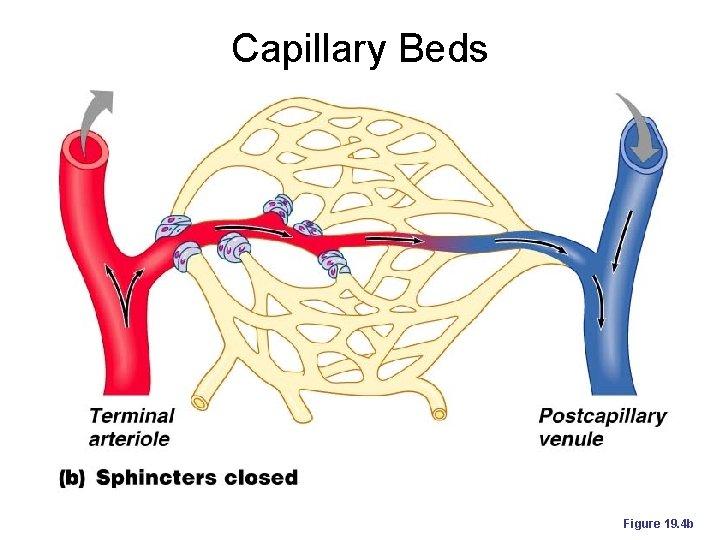 Capillary Beds Figure 19. 4 b