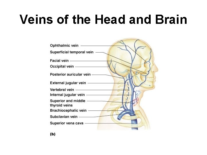 Veins of the Head and Brain