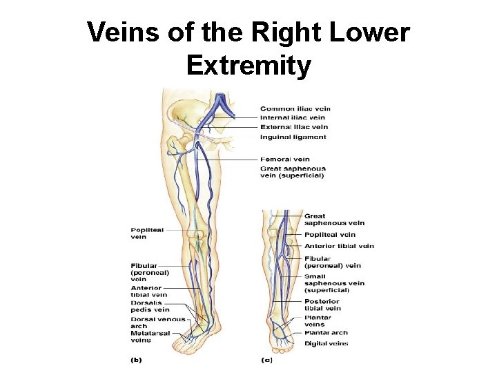 Veins of the Right Lower Extremity