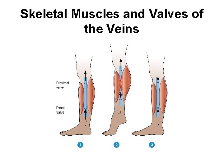 Skeletal Muscles and Valves of the Veins