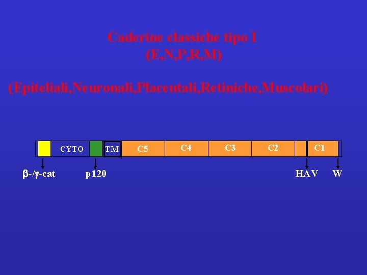 Caderine classiche tipo I (E, N, P, R, M) (Epiteliali, Neuronali, Placentali, Retiniche, Muscolari)