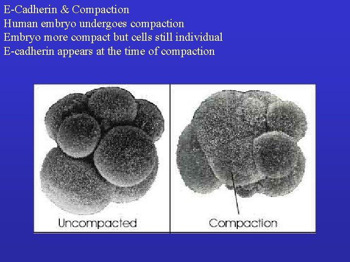 E-Cadherin & Compaction Human embryo undergoes compaction Embryo more compact but cells still individual