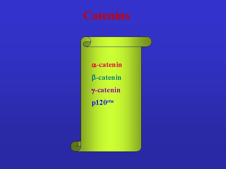 Catenins a-catenin b-catenin g-catenin p 120 ctn