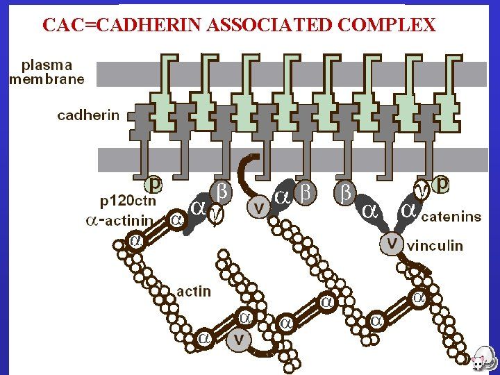CAC=CADHERIN ASSOCIATED COMPLEX