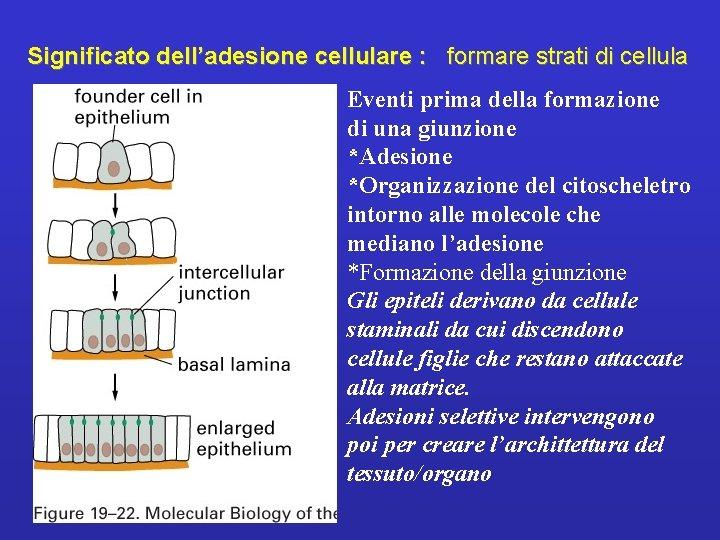 Significato dell'adesione cellulare : formare strati di cellula Eventi prima della formazione di una