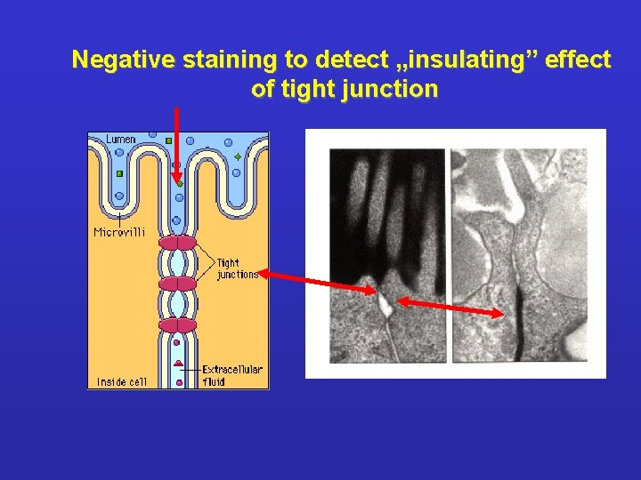 """Negative staining to detect """"insulating"""" effect of tight junction"""