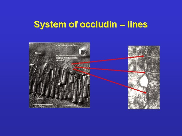 System of occludin – lines