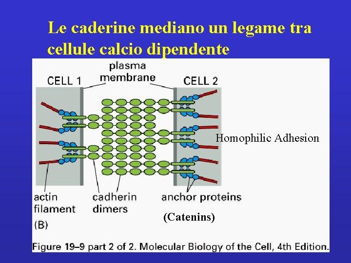 Le caderine mediano un legame tra cellule calcio dipendente Homophilic Adhesion (Catenins)