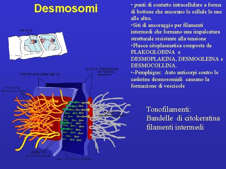 Desmosomi • punti di contatto intracellulare a forma di bottone che ancorano le cellule