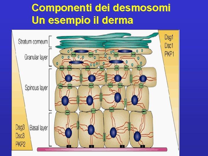 Componenti desmosomi Un esempio il derma