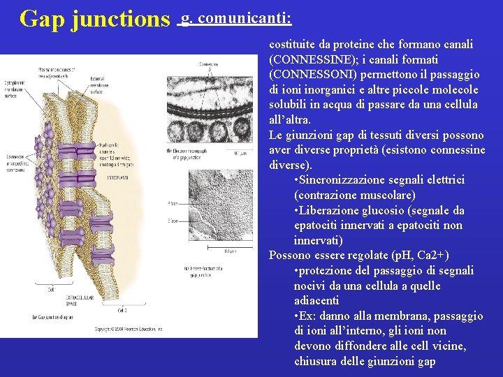 Gap junctions g. comunicanti: costituite da proteine che formano canali (CONNESSINE); i canali formati
