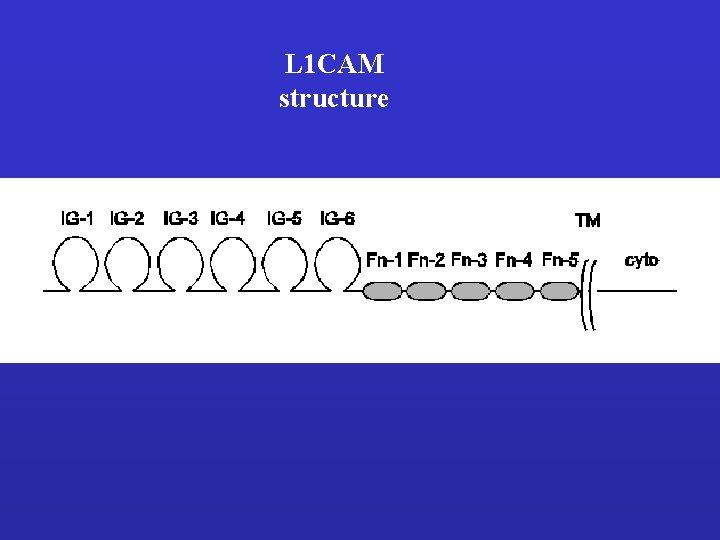 L 1 CAM structure