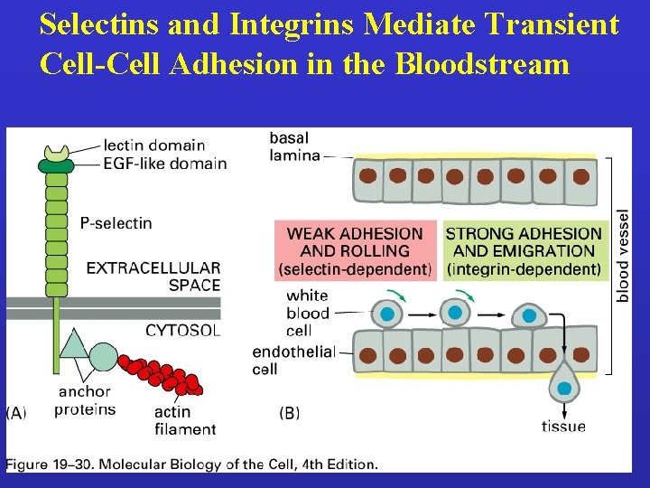 Selectins and Integrins Mediate Transient Cell-Cell Adhesion in the Bloodstream