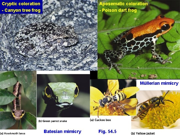 Cryptic coloration - Canyon tree frog Aposematic coloration - Poison dart frog Müllerian mimicry