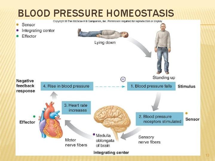 BLOOD PRESSURE HOMEOSTASIS 13