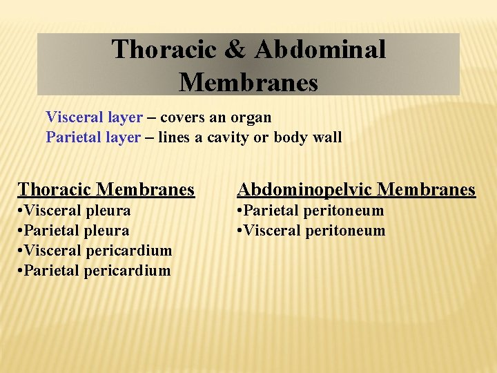 Thoracic & Abdominal Membranes Visceral layer – covers an organ Parietal layer – lines