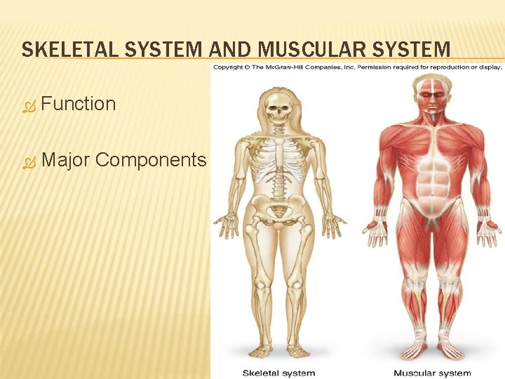 SKELETAL SYSTEM AND MUSCULAR SYSTEM Function Major Components