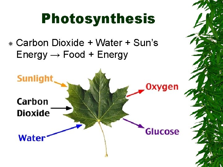 Photosynthesis Carbon Dioxide + Water + Sun's Energy → Food + Energy