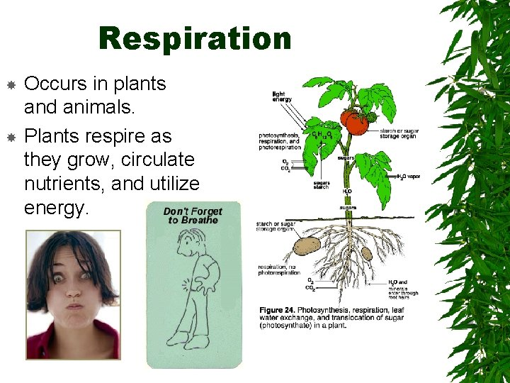 Respiration Occurs in plants and animals. Plants respire as they grow, circulate nutrients, and